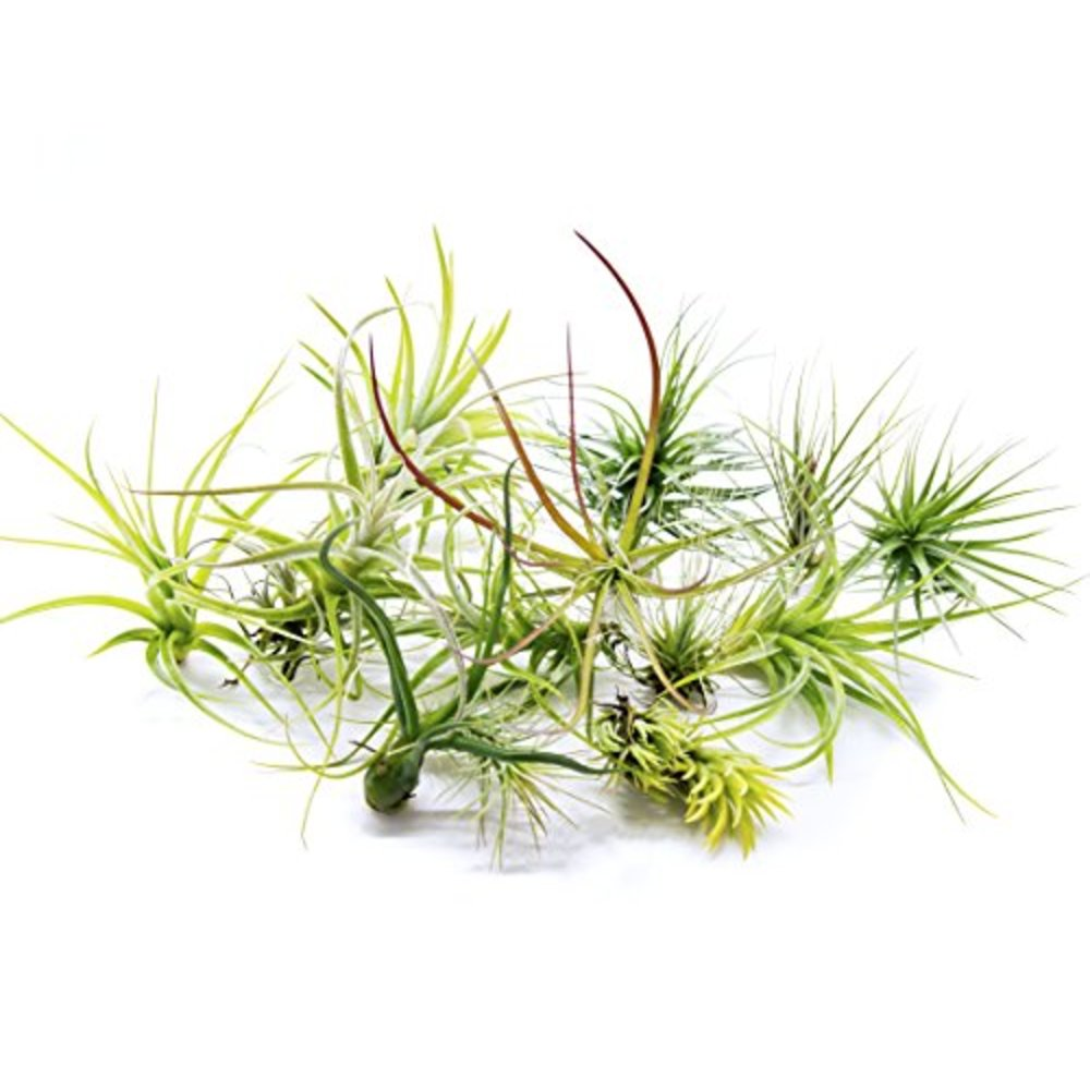 12 air plant variety pack 12 assorted species live air plants by aquatic arts